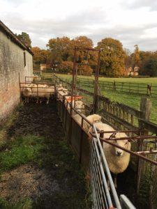 ewes-1