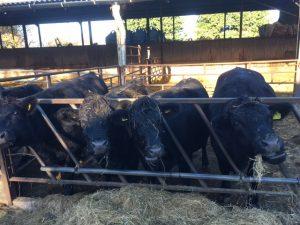 cows-eating-breakfast