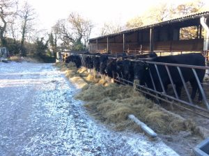 cows-on-frosty-morning