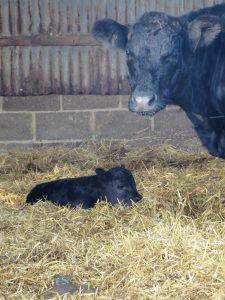 first-calf-2016-1