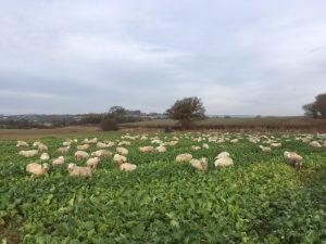 nov-16-lambs-in-turnips