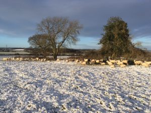 Sheep on snowy day